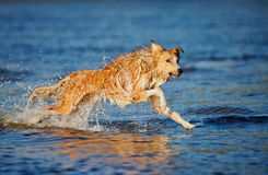 Happy dog running in the water Stock Image