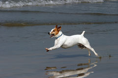 A Happy Dog runs on the beach Royalty Free Stock Photos