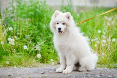 Happy Samoyed dog, white and fluffy out for a walk. Happy dog Samoyed white and furry running around in the street Royalty Free Stock Images