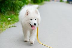 Happy Samoyed dog, white and fluffy out for a walk. Happy dog Samoyed white and furry running around in the street Stock Image