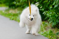 Happy Samoyed dog, white and fluffy out for a walk royalty free stock photos