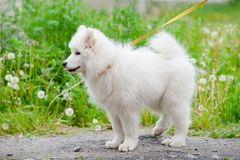 Happy Samoyed dog, white and fluffy out for a walk. Happy dog Samoyed white and furry running around in the street Royalty Free Stock Photography