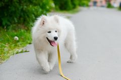Happy Samoyed dog, white and fluffy out for a walk. Happy dog Samoyed white and furry running around in the street Stock Photography