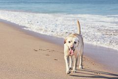 Happy dog on the sand beach Royalty Free Stock Photos