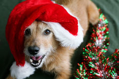 Happy dog in a Santa hat. Cute scruffy terrier dog wearing a Santa hat looking up with a big grin on her face royalty free stock images