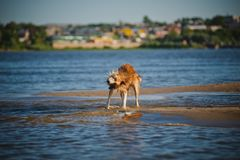 Happy dog shakes in the water Stock Image