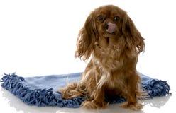 Happy dog sitting on blanket Royalty Free Stock Images