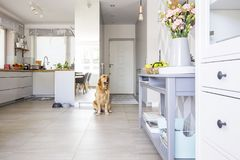 Happy Dog Sitting In Open Space Kitchen Interior In Real Photo W Royalty Free Stock Photography