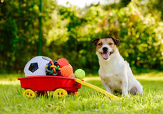 Happy dog sitting near wheelbarrow full of real treasures — various kinds of balls. Jack Russell Terrier pet with a lot of balls Stock Photo