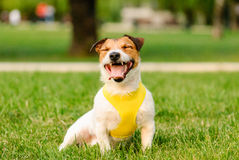 Happy dog sitting and yawning. Jack Russell Terrier on a walk at park Royalty Free Stock Images