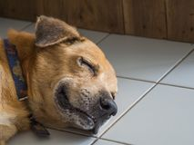 The happy dog is sleeping and smiling. Like being in a good dream.  Royalty Free Stock Photography