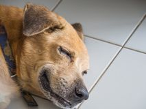 The happy dog is sleeping and smiling. Like being in a good dream.  Stock Photos
