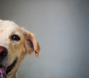 Happy dog is smiling with only the half face. Look into the eye, he is saying hello to the world Royalty Free Stock Photos