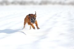 Happy dog in snow royalty free stock photo