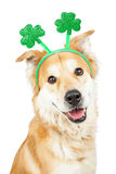 Happy Dog St Patricks Day Clover Headband. Happy and smiling cute Golden Retriever mixed breed dog wearing green clover St. Patrick's Day headband royalty free stock photos