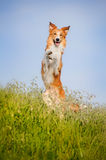 Happy dog standing on his hind