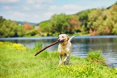 Happy dog with stick royalty free stock photography