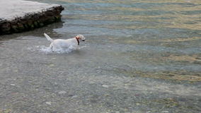Happy dog swim in the water stock video