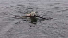 Happy dog swimming with stick in  sea water stock video footage