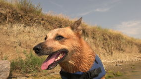 Happy dog after swimminging lifejacket on beach cliff shoreline. stock video