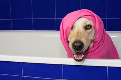 HAPPY DOG TAKING A BATH IN A BLUE BATHTUB WITH A PINK TOWEL COVE stock photo