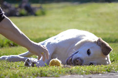 Happy Dog with tennis ball Stock Image