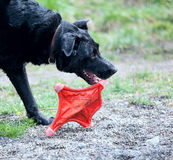 Happy dog with a throw toy. Dogs playing at a park royalty free stock photo
