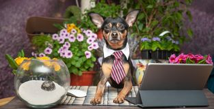 Happy dog in a tie with laptop working at a desk against the background of flowering. Fields stock photography