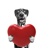 Happy dog on the valentines day. On white Stock Image