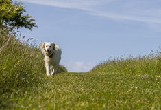 Happy dog on walk in field Stock Image