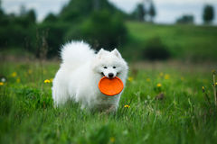 Happy  dog on walk. Dog for a walk with orange Frisbee in the park Stock Photo