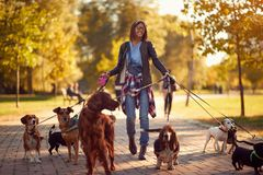Happy dog walker enjoying with dogs while walking outdoors. Happy dog walker woman enjoying with dogs while walking outdoors stock photo