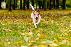 Free Happy Dog Walking And Playing At Fall Autumn Park On Colorful Leaves Royalty Free Stock Photography - 119791777