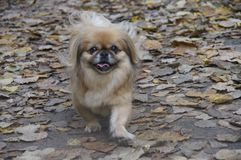 Dog in autumn leaves. Happy dog walking in the autumn Park. The color of the dog very well with leaves. Her look radiates joy and uplifting Royalty Free Stock Image