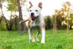 Happy dog walking with ball in her mouth stock image