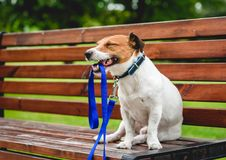 Happy dog walking in park sitting on bench and holding leash in mouth. Jack Russell Terrier resting on bench after a walk stock photography