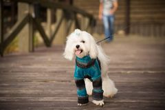 Dog in clothes. Happy dog in warm clothes for a walk stock photo