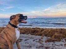 big dog and beach sunset stock image