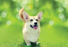 Happy dog Welsh Corgi Pembroke on the grass in sunny summer day Royalty Free Stock Image