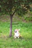 Happy dog Welsh Corgi Pembroke sitting on the grass near tree Royalty Free Stock Photography