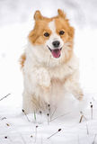 Happy dog in the white snow Stock Photos