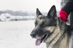 Happy Dog In Winter Royalty Free Stock Photo