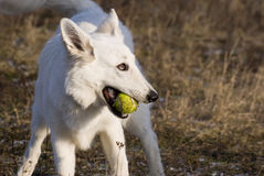 Happy Dog With Ball Stock Image