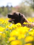 Happy dog with yellow dandelions Stock Photo