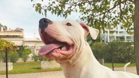 Happy Dogo Argentino dog portrait at a park. stock video footage