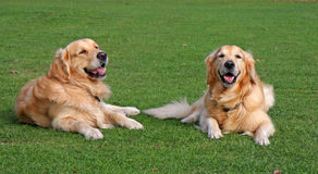 Happy dogs. Two happy dogs laying on green grass Stock Photos
