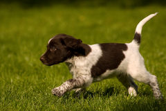 Happy dogs. Kliner Munsterlander puppy playing in the garden Stock Image