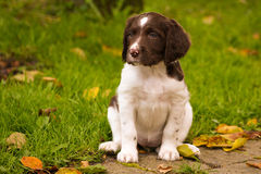 Happy dogs. Kliner Munsterlander puppy playing in the garden Stock Images