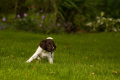 Happy dogs. Kliner Munsterlander puppy playing in the garden Royalty Free Stock Photography