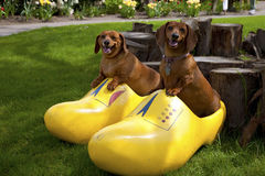 Happy dogs. Happy dogs in a wooden shoe, Woodland WA royalty free stock images